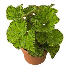 Begonia 'Froggy' (Begonia rex hybrid)