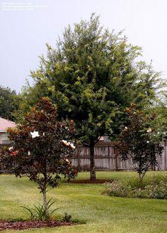 Majestic 40+ Gorgeous Magnolia Tree Ideas For Awesome Garden https://decoredo.com/8514-40-gorgeous-magnolia-tree-ideas-for-awesome-garden/