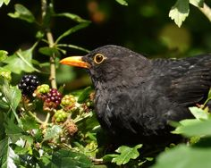"pagewoman:  ""  Male Blackbird  by Davy  """