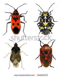 Pyrrhocoridae Fotos, imagens e fotografias Stock | Shutterstock