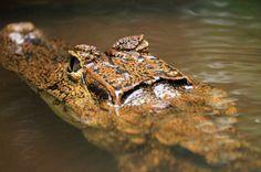 tortuguero national park attraction caiman   - Costa Rica