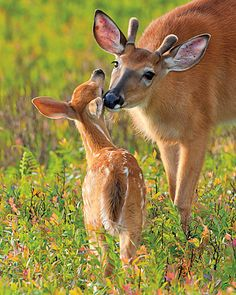 White-tailed Deer and Fawn by By Wil Hershberger