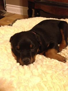 My Adorable Rottweiler puppy.... Xo