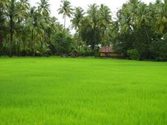 Rice paddy in Kerala. Looks like this in the back of my dad's family's house.