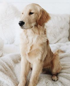 "Check out our website for even more details on ""golden retriever puppy"". It is an exceptional area to find out more. Chihuahua Puppies, Cute Puppies, Cute Dogs, Dogs And Puppies, Doggies, Cute Puppy Pictures, Dog Pictures, Chien Golden Retriever, Golden Retrievers"