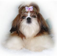 Izzy: Mother of Raja. Shihtzu Dogs and Puppies Twana's Pe-Kae Treasures- IA Shih Tzu Breeder   CA Shih Tzu for Sale