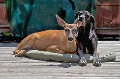 Amistad entre un perro y un venado