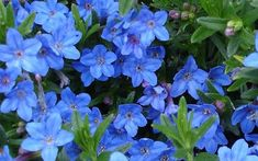 Lithodora diffusa 'Grace Ward' - Grace Ward Lithodora•Grows In: Zone 5A · -20° to -15° F through Zone 8A · 10° to 15° F •Sun Exposure: Full / Mostly Sun, Morning Sun / Evening Shade, Morning Shade / Evening Sun •Soil Drainage: Well Drained •Flower Color: Bright Blue •Blooms: Spring Blooms, Early Spring Blooms •Foliage Color: Dark Green •Average Height: 0' to 1' •Average Width: 1' to 2' •Attracts: Visual Attention •Fragrances: None