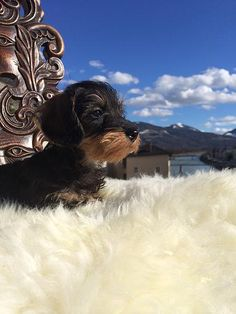 Willow Springs Miniature Wirehaired Dachshunds - Savannah in Salzburg http://www.willowspringsdachshunds.com/