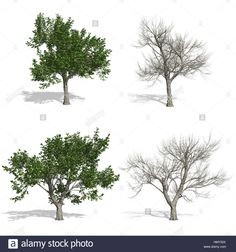 Stock Photo - Ash trees, isolated on white background Ash Tree, Pop Up, Trees, Stock Photos, Illustration, Outdoor, Outdoors, Popup, Tree Structure