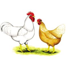 Golden Sex Link Pullet | Online Shopping for Farm & Ranch Equipment, Lawn & Garden Supplies, Pet Supplies and much more.