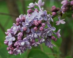 Did I mention I love lilacs?