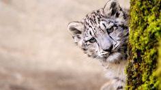 leopard-cub-leopard-hidden-animal-wildlife-feline-predator-1920x1080.jpg (1920×1080)