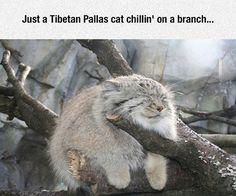 Just a Tibetan Pallas Cat....