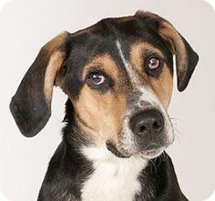 Hound (Unknown Type)/Shepherd (Unknown Type) Mix Dog for adoption in Chicago, Illinois - Buddy