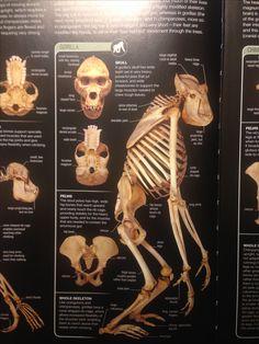 Skull Anatomy, Chimpanzee, Lion Sculpture, Statue, Sculptures, Sculpture