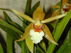 Andy's Orchids - Species Specialist - Coelogyne - lawrenceana