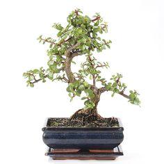 arbre jade bonsai - Recherche Google Jade Bonsai, Bonsai Plants, Bonsai Styles, Jade Plants, Nirvana, Recherche Google, Succulents, Indoor, Garden