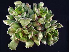 Gallery Box > Adromischus - 銀紫扇 - 多肉植物 ルチアから全国に通販 ハオルシア エケベリア