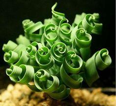 12 Weird Succulents that will BLOW your MIND - Good Plant Stuff Succulent Seeds, Succulent Gardening, Cacti And Succulents, Planting Succulents, Garden Pots, Planting Flowers, Potted Garden, Indoor Gardening, Succulent Bonsai
