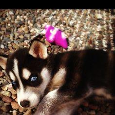 Luna, my husky
