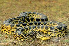 The 20 Best Anacondas Images On Pinterest Green Anaconda
