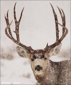 Mule Deer in Snow Red Headed Hunter 🌎 Mule Deer Buck, Mule Deer Hunting, Deer Photos, Deer Pictures, Beautiful Creatures, Animals Beautiful, Big Deer, Big Game Hunting, Deer Family