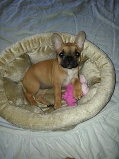 "Baby red French Bulldog....9 wks...she says ""good morning!"""