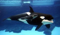 Killerwhales...my passion.