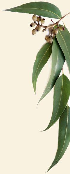 clipart gum leaves - photo #33