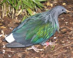 asian pigeon - Google Search