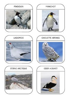 Imagier des animaux polaires page 10... attention plusieurs pages ! Rare Albino Animals, Polo Norte, Fun Facts About Animals, French Kids, African Grey Parrot, Pet Day, Arctic Animals, Extinct Animals, Kindergarten Science