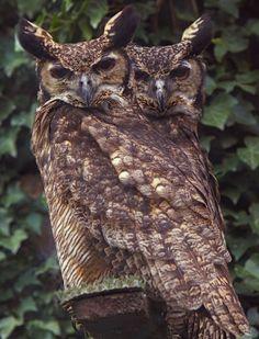 Turmanestan Eagle Owls.