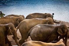 Elephant Parade, Elephant Orphanage, Pinnawala, Sri Lanka #SriLanka #Pinnawala #Elephants