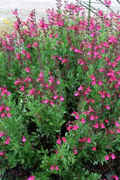 Salvia greggii Pink Preference (Pink Preference Texas Sage) : This selection of the durable, deer-resistant, hummingbird-attracting Salvia greggii came to us from the late Logan Calhoun. Salvia 'P Rock Garden Plants, Cottage Garden Plants, Garden Shrubs, Landscaping Plants, Landscaping Ideas, Cottage Gardens, Modern Landscaping, Water Garden, Begonia
