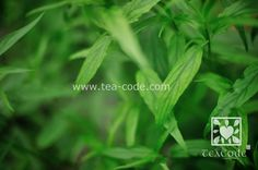 sabah snake grass, clinacanthus nutans, belalai gajah, dandang gendis, herb cure cancer, cure diabetis, cure high blood pressure, cure hypertension, you dun cao, 憂遁草,  沙巴蛇草