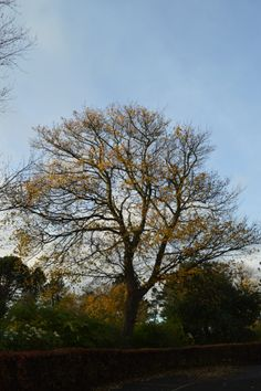 Golden tree in Hepburn Park, St Andrews.