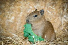 The first baby capybara in over 10 years has been born at the Houston Zoo in Texas! The little male, named Mr. Pibb, has been mooching from mom's food bowl since he was just a few days old. See more photos: http://www.zooborns.com/zooborns/2014/12/capy-houston.html