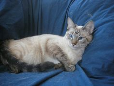 Adult Lynx Point Siamese Cat. My favorite cat Charlie was a Lynx Point, and I think they are the most beautiful cats!