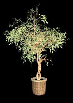 Ficus Tree Problems & treatments