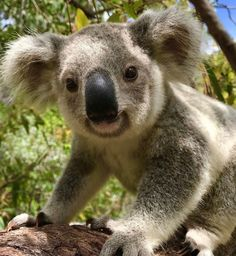 Celebrating Australia & all of its magnificent natural flora & fauna today It has definitely been a tough few. For see more of fitness life images visit us on our website ! Clever Animals, Cute Funny Animals, Beautiful Creatures, Animals Beautiful, Baby Koala, Koala Bears, Australia Animals, Cute Animal Pictures, Hilarious Animals