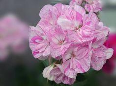 ゼラニューム 優しい色合い #flower #flowers #nature #naturechallenge #japan #floweroftheday #flowerstagram #lovely #花 #自然 (by non.mama.3)