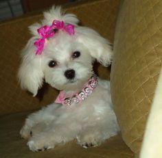 Maltese Dog                                                                                                                                                      More