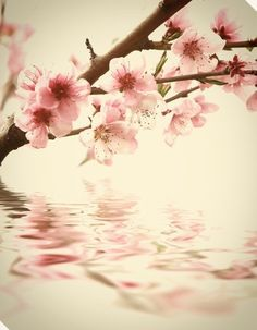 Cherry blossom my favorite flower