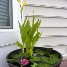 DIY Container Water Plant... Perfect for deck/patio decoration :)