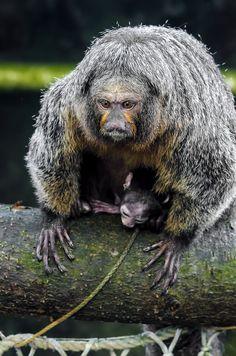 Hvidhovedet Saki abe - Saki monkey (Pithecia pithecia) by Sir. Jensen,