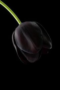 Black Tulip this exact picture is what made me fall in love with black tulips and there started my craze of wedding planning. If only I could have had real black tulips in my bouquet. Black Tulips, Black Flowers, My Flower, Pretty Flowers, Black Roses, Cactus Flower, Flower Ideas, Yellow Roses, Spring Flowers