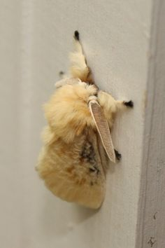 Black waved flannel moth....so awesomely fuzzy!