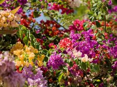 Bougainvillea Flowers of Mixed Colors, French Polynesia by Tim Laman