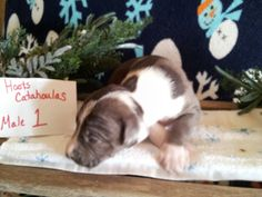 Hoots Catahoulas puppy for sale see our Facebook page for more information shipping available